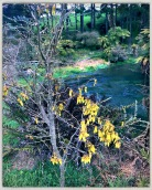 A number of Kowhai trees have been planted along the track